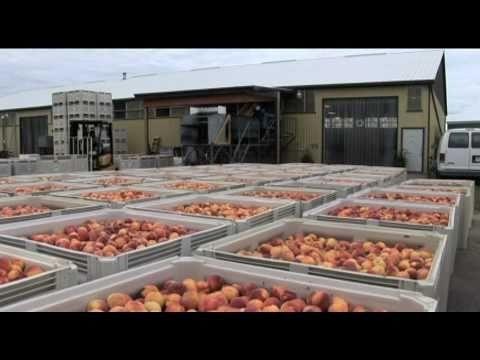 Fruit Processing in the Niagara Region video