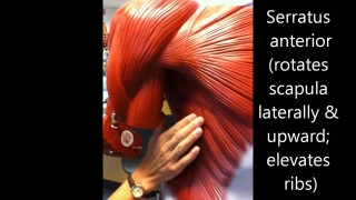 Anatomy and Physiology Of The Human Body – Muscles (captioned) HD 1080pi