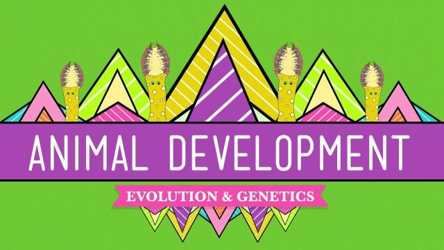 Animal Development: We're Just Tubes – Crash Course Biology #16