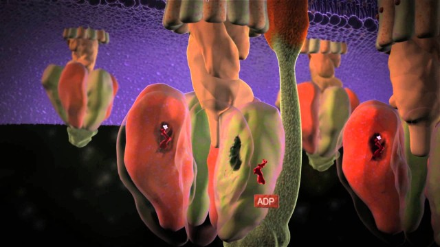 ATP Synthase: The power plant of the cell