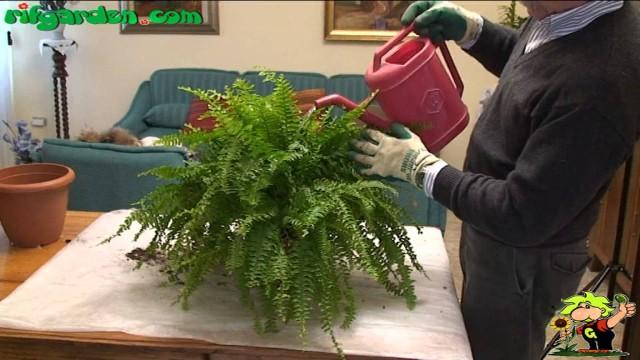 Growing ferns indoors