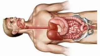 Human gastrointestinal tract anatomy – stomach, jejunum, ileum, colon