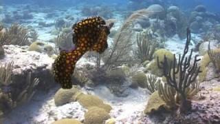 Leopard Flatworm