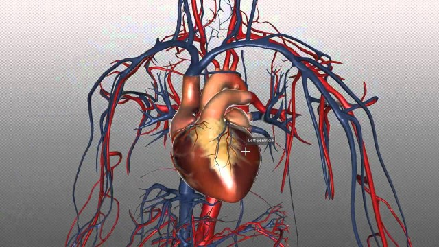 The Heart and Major Vessels – PART 1 – Anatomy Tutorial