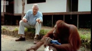 Attenborough: Amazing DIY Orangutans – BBC Earth