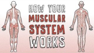 How your muscular system works – Emma Bryce
