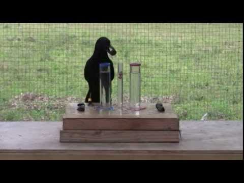 Causal understanding of water displacement by a crow